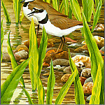 Norman Arlott - Little Winged Plover