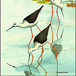 Norman Arlott - Black WingedStilt