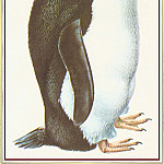 Peter Barrett - Rockhopper Penguin