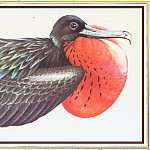 Peter Barrett - Magnificent Frigate Bird