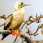 Birds 56 Red-footed Booby, Robert Bateman Sqs, M Foote