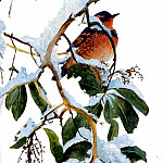 Birds 05 Varied Thrush On Arbutus Robert Bateman Sqs, Middle Earth