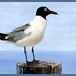 Roger Bansemer - Laughing Gull 1(Summer)