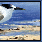 Roger Bansemer - D50-AWE143-RB-Sandwich_Tern_2(Winter)