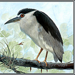Roger Bansemer - Black Crowned Night Heron 1