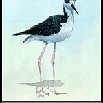 Roger Bansemer - Black Necked Stilt
