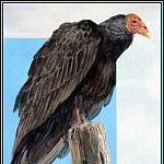 Roger Bansemer - Turkey Vulture 1