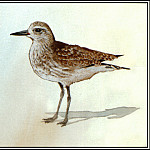 Roger Bansemer - Black Bellied Plover 2