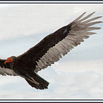 Roger Bansemer - Turkey Vulture 2