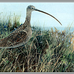 Roger Bansemer - Long Billed Curlew