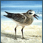 Roger Bansemer - Black Bellied Plover 1