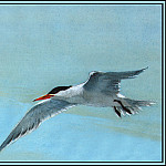 Roger Bansemer - Royal Tern 1(Summer)