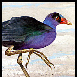 Roger Bansemer - Purple Gallinule