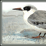 Roger Bansemer - Forsters Tern (Winter)