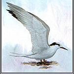 Roger Bansemer - Common Tern(Winter)