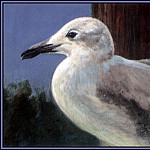 Roger Bansemer - Laughing Gull 2(Winter)
