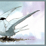 Роджер Бансмер - D50-AWE142-BR-Sandwich_Tern_1(Winter)