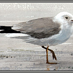 Roger Bansemer - Ring-Billed Gull 2