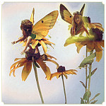Black eyed Susan Fairy, Susan Black