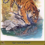 Robert Dallet - Tigre royal du Bengale