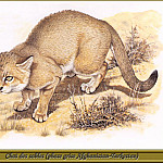 Robert Dallet - Chat des sables phase grise Afghan Turkestan