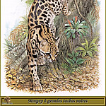 Robert Dallet - Margay а grandes taches noires