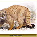 Robert Dallet - Manul phase rousse