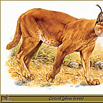 Robert Dallet - Caracal phase brune