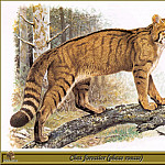 Robert Dallet - Chat forestier phase rousse