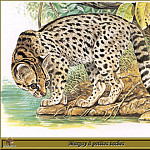 Robert Dallet - Margay а petites taches