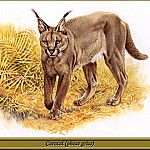 Robert Dallet - Caracal phase grise