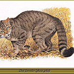 Robert Dallet - Chat forestier phase grise