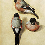 Bullfinch in Three Positions, Albrecht Dürer