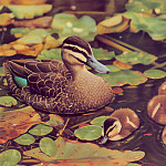 Ego Guiotto - Pacific Black Duck Painting