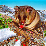 Ego Guiotto - MountainPygmy-Possum