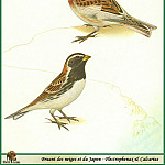 Walter Linsenmaier - Plectrophenax nivalis & Calcarius Iapponicus