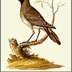 Penny Olsen - pa F&B WilliamEllis Black FacedCuckoo Shrike
