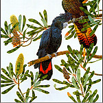 Пенни Олсен - pa F&B RobinHill Red TailedBlack Cockatoo