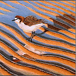 Penny Olsen - pa F&B PeterMarsack Red CappedPlover