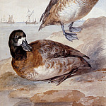 Aert Schouman - Schouman Aert Pair of ducks Sun