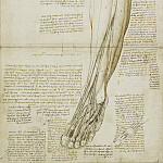 The muscles and tendons of the lower leg and foot, Leonardo da Vinci