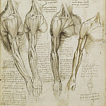 Leonardo da Vinci - The muscles of the shoulder, arm and neck