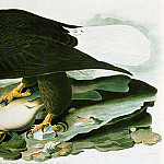 American artists - Audubon John James The Bald Headed Engle From Birds Of America