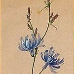Elizabeth Merkuryevna Boehm (Endaurova) - chicory. The end of XIX beginning of XX century