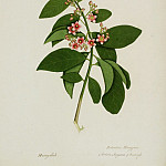 European art; part 1 - Ardisia solanacea 13030 172