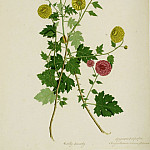 European art; part 1 - Dendranthema x grandiflora 15125 172