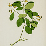 European art; part 1 - Avicennia officinalis 13040 172