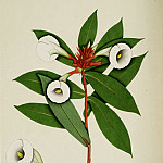 European art; part 1 - Costus speciosus 13011 172