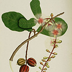 European art; part 1 - Barringtonia racemosa 13047 172