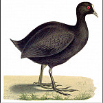 PO_Extinct_Animals - PO_ExtAn_005_Fulica_Newtoni